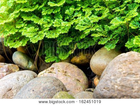 Freshness green and small leaf of Selaginella involvens fern on river rock