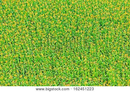 View of corn field from the top height