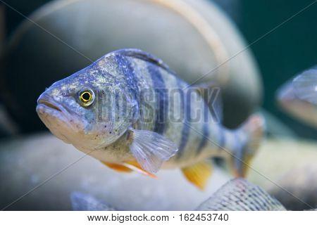 marine fish in the aquarium in a glass