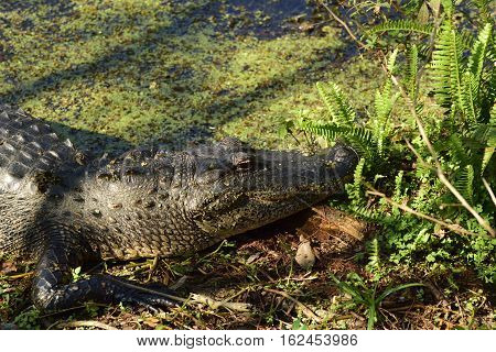 Profile of an American Alligator resting in the sun.