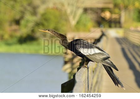 Anhinga on a boardwalk over the Gulf of Mexico.