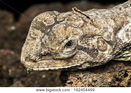 Forest dragon in tropic. Macro photo close up of reptiles