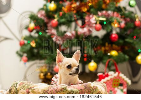 Chihuahua lying in the couch next to Christmas tree waiting for treats.