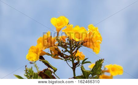 Tecoma flowers on a background of blue sky in Egypt