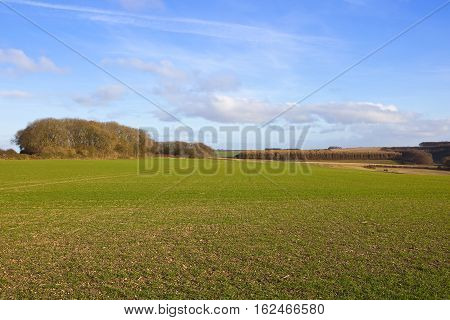 Wheat Crop And Woodland