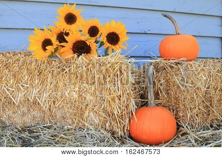 Decoration for Harvest and Thanksgiving from Bales of Hay Bouquet Sunflowers and Orange Pumpkins with long stem in front of gray wooden wall