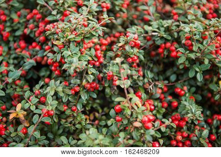decorative  red berry Cotoneaster conspicuus (Tibetan cotoneaster)