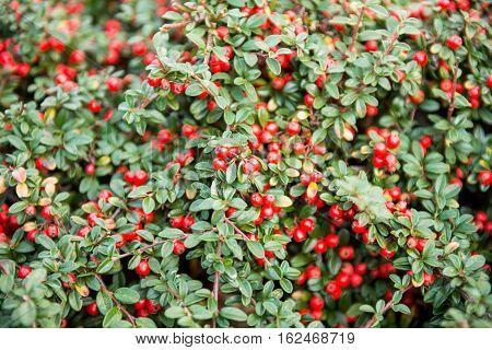 decorative  red berry Cotoneaster conspicuus (Tibetan cotoneaster)