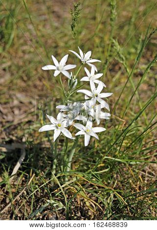 Ornithogalum. Beautiful spring flowers on green grass