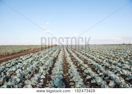 agronomics, agriculture cabbage growing on the farm