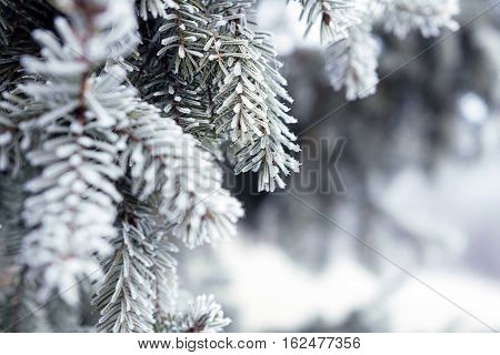 Pine Branches Covered With Hoarfrost Crystals