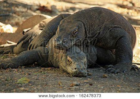 Mating Komodo Dragons (Varanus Komodoensis). Rinca Komodo National Park Indonesia