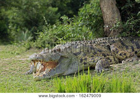 Nile Crocodile (Crocodylus Niloticus) with Open Mouth Lying on the River Bank. Murchison Falls Uganda