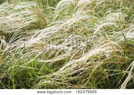 Feather grass in wind. Field of a steppe feather grass