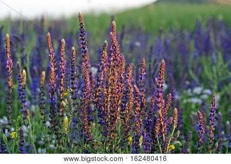 Clary Sage (Salvia sclarea). Beautiful spring flowers on green grass