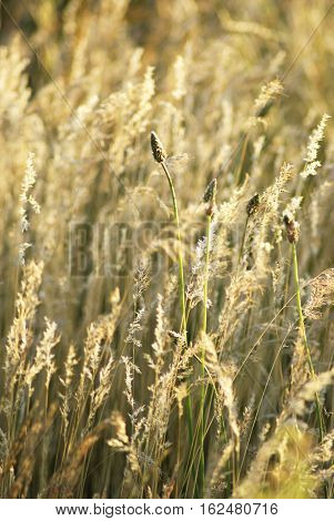 Dry steppe grass. Field of a steppe feather grass