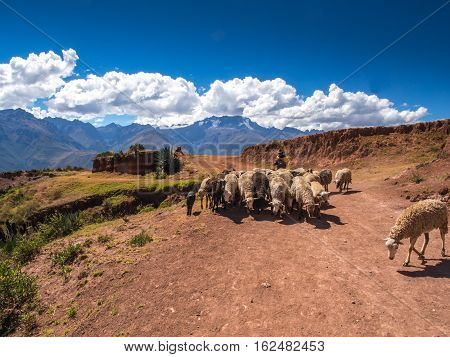 Moray Peru - May 20 2016: Peruvian Indian farmer with his sheep in the Sacred Valley