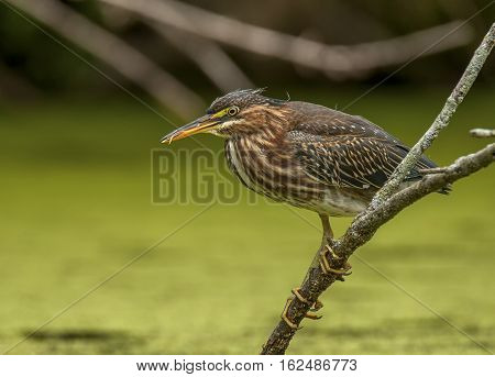 A colorful Green Heron perches on a branch overhanging the backwaters of a midwest river as it hunts for food.