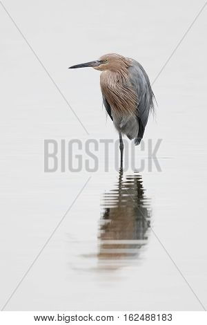 Reddish Egret Standing In A Shallow Pond - Florida