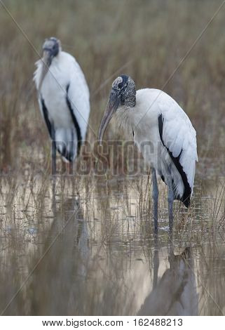 Pair Of Wood Storks (mycteria Americana) Standing In A Shallow Marsh - Merritt Island Wildlife Refug