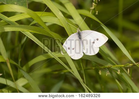 Large White (Pieris brassicae) butterfly resting on Grass