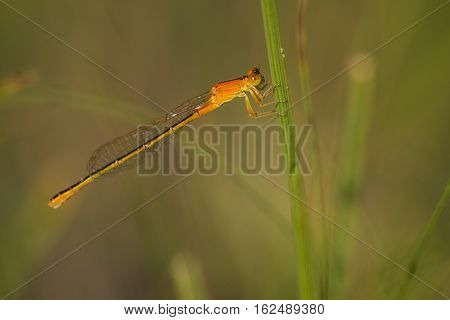 Scarce Blue-tailed Damselfly (Ischnura pumilio) fresh female resting on Grass