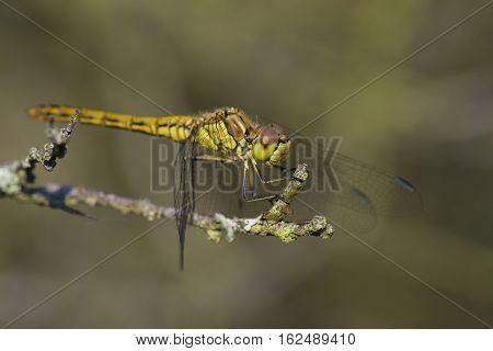 Vagrant Darter (Sympetrum vulgatum) fresh female resting on a Dead Branch
