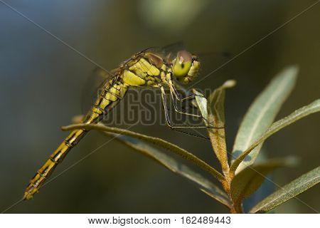 Vagrant Darter (Sympetrum vulgatum) fresh female resting on a Shrub