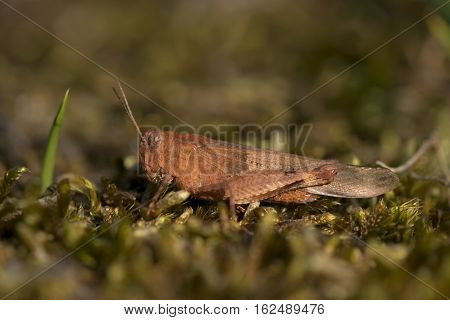Blue-winged Grasshopper (Oedipoda caerulescens) female resting on Moss in a Dune-Valley