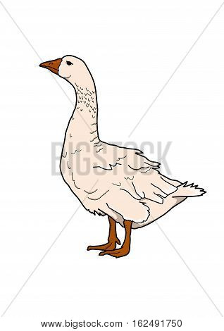 Pale pink plump goose on a white background.