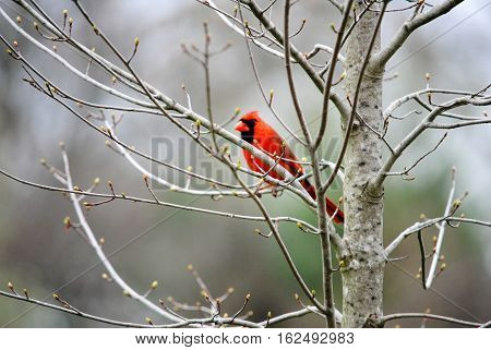 Beautiful red cardinal in a small tree