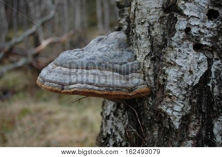 Hoof fungus going on a silver birch tree.