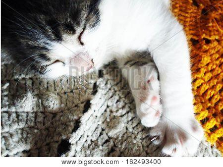felino mascota descanso dormir naranja blanco gris