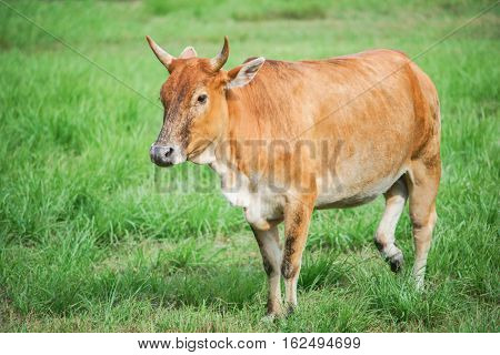 Cows on pasture in the farm land