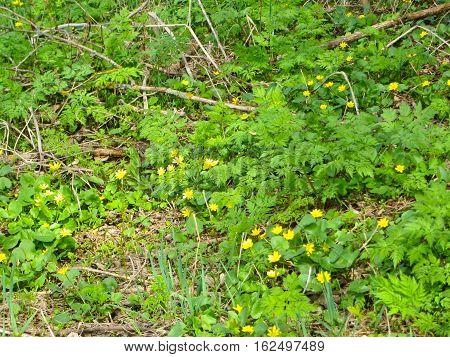 Marsh Marigold (Caltha palustris) on spring day