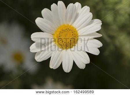 Tanacetum cinerariifolium also known as Pyrethrum of Commerce or Dalmatian Pyrethrum. Very shallow focus on the main flower only leaving the background with a soft bokeh.