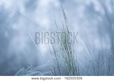 Broom Twigs With Rime In Winter