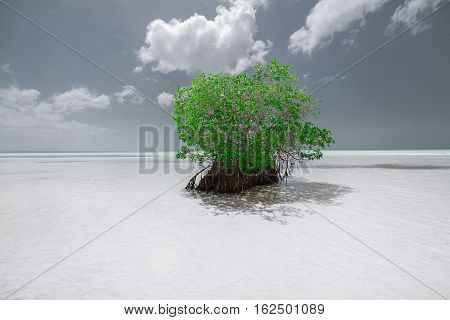 Cayo Coco island, Cuba, amazing gorgeous beautiful monochrome nature background with a lonely green tree standing in the shallow ocean water near the beach on sunny hot day