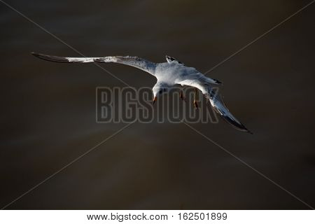 Seagull soaring above the surface of water in Bang Pu Thailand.