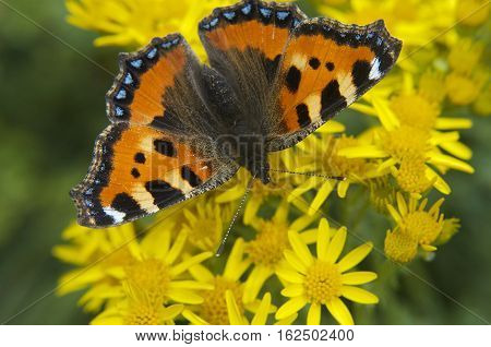 Single common orange and black Tortoiseshell butterfly on a yellow flower with green background birds eye top down arial view.