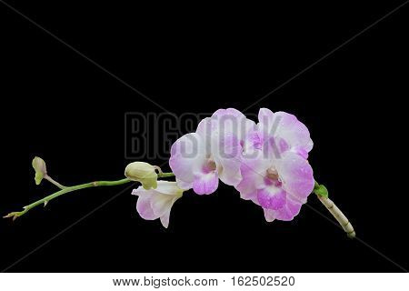 Beautiful pink-white color orchids isolated on black background