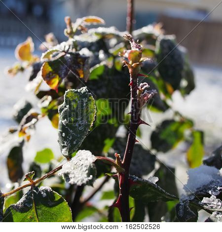 Intricate ice crystals on the leaves and stems of a rose bush on a winter day in Prineville in Central Oregon.