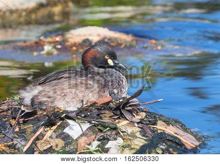An Australasian Grebe, Tachybaptus novaehollandiae, on its nest in a pond in Western Australia.
