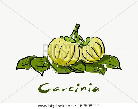 Garcinia cambogia fresh fruit isolated on white background. Garcinia atroviridis is a spice plants high vitamin C and hydroxy citric acids (HCA) for diet and good health.