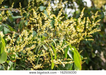 Longan Flower , agriculture in Thailand asia