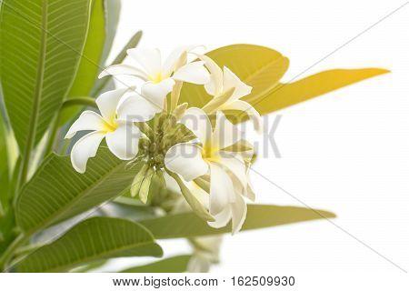 Lan Thom Flower