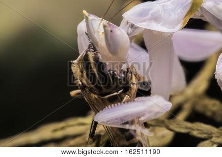 pink orchid mantis benign small cute lunch
