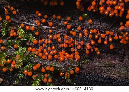 Myxomycota slime mold fungus Trichia decipiens macro selective focus shallow DOF