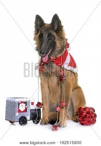 belgian shepherd tervuren and christmas in front of white background