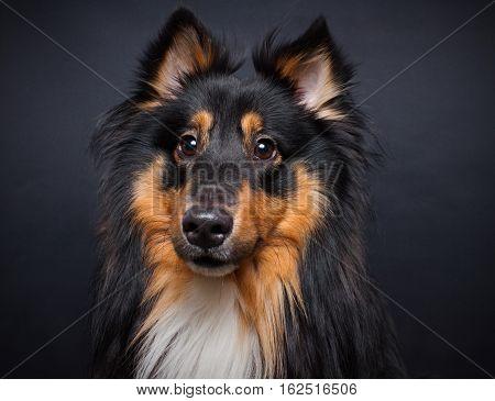 A portrait of a cute young purebred male shetland sheepdog against dark background.